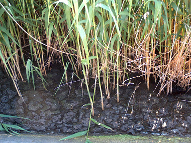 reed bed sewage sludge treatment